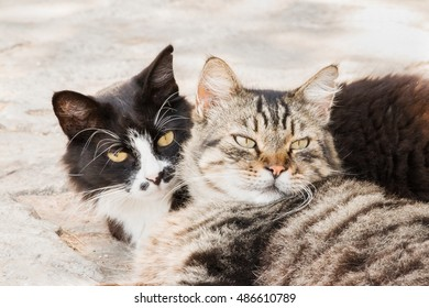Portrait of big fluffy homeless cats laying outdoor. Attractive eyes, long whiskers