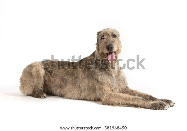 Portrait of a big gray dog of breed the Irish wolfhound on a white background.