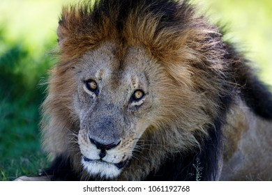 Portrait of big Lion Blackie in Masai Mara, Kenya