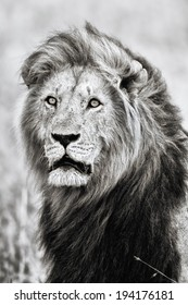 Portrait of a big lion with a flowing mane in black and white. He is the son of the legendary lion Notch in Masai Mara, Kenya.