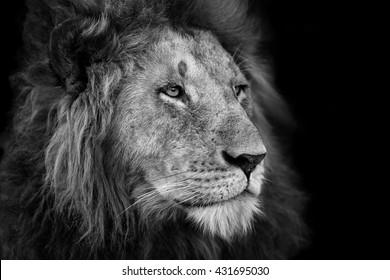 Portrait of a big Lion from Rekero Pride in Masai Mara, Kenya