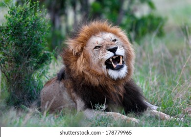 Portrait of a big roaring Lion Caesar, one of Notches sons, with an impressive mane in Masai Mara, Kenya