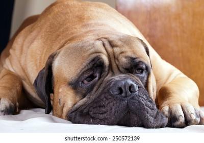 Portrait of a big sad dog