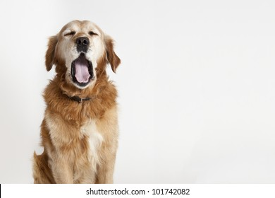 The portrait of the big yawning dog