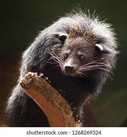 Portrait of a Binturong or Bearcat hanging on the edge of a branch