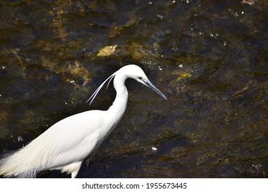 リトル・エグレットという鳥のポートレート