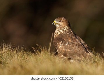 Portrait of bird of prey, Common Buzzard, Buteo buteo, sitting on the autumn meadow. Czech republic.