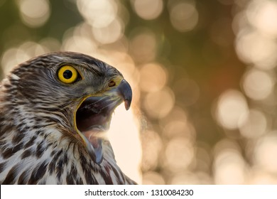 Portrait of bird of prey. Northern goshawk, Accipiter gentilis, young bird with bright yellow eyes and opened beak against nice golden, abstract circular blur bokeh. Highlands, Czech republic.