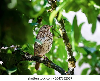 portrait of a bird . Young fieldfare (Turdus pilaris) is hiding in the green bushes while waiting for feeding.