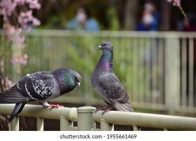 岩鳩という鳥のポートレート