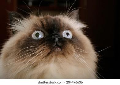 Portrait of birman cat with big eyes closeup