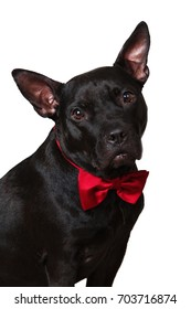 Portrait of a black american staffordshire dog a sitting surprised in red bow tie.