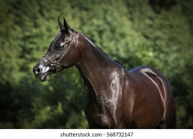 Portrait of black arabian horse with green background.