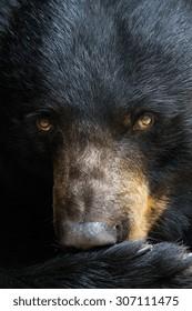 A portrait of a black bear.