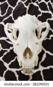 Portrait of a Black Bear Skull