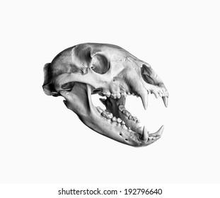 Portrait of a Black Bear Skull. Isolated on white background.