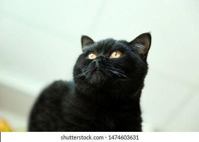Portrait of a black british shorthair cat