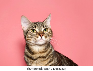 Portrait of a black and brown tabby cat looking up to viewers left with calm inquisitive curious expression. Pink background with copy space.