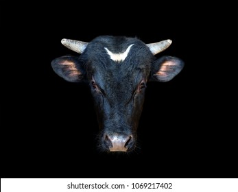 Portrait of a black bull isolated on a black background. Ox, oxen head close-up. Cattle