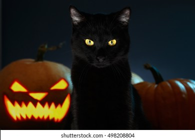 Portrait of Black Cat with Halloween pumpkin on Background and scary spooky Eyes, creepy horror holiday, superstition evil animal