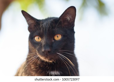 Portrait of black cat looking for something, cute animal and pet