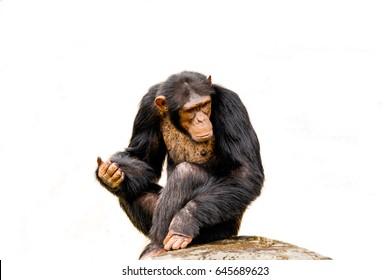 The portrait of black chimpanzee isolate on white background.