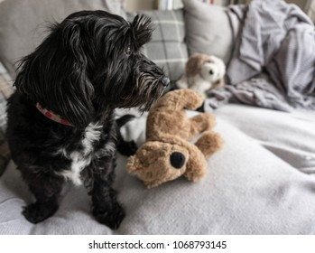 Portrait of black cockerpoo dog on sofa