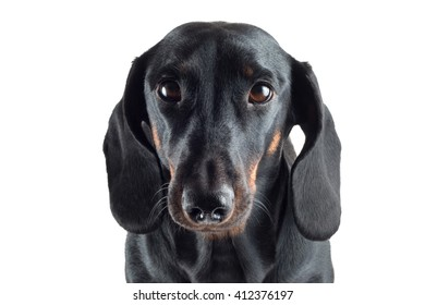 portrait of a black Dachshund