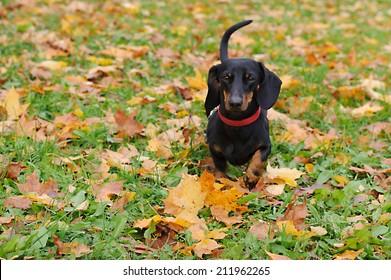 Portrait of a black dachshund running in the park in autumn