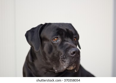 Portrait of a black dog Cane Corso.The Cane Corso is a large Italian Molosser, which is closely related to the Neapolitan Mastiff.
