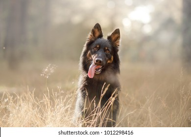 portrait of a black dog. sheepdog. Pet on nature in the forest