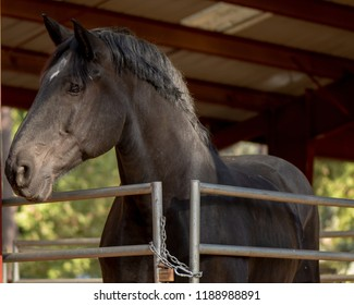 Portrait of black draft horse fenced in the stable looking away with years pointed forward