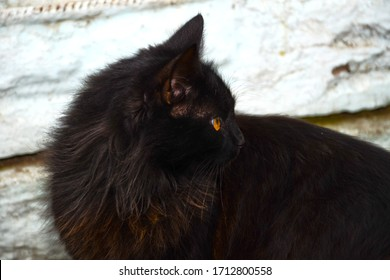 Portrait of a black, fluffy cat. The cat turned to the side. Close-up photo, yellow eyes