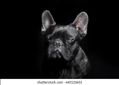 Portrait of Black French Bulldog with close eyes on black background