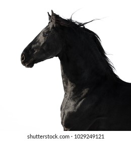 Portrait of a black friesian horse on white background isolated