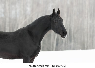 Portrait of a black friesian horse on white snow background in the winter