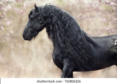 portrait black Friesian horse on the background flowers in the spring