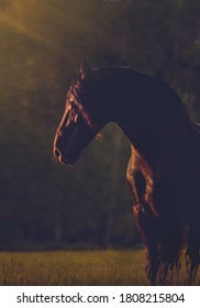 Portrait of black Friesian horse in summer time