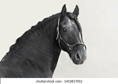 Portrait of a black Frisian stallion on a light background. The mane of a horse braided in a braid. Turn of the head on the camera
