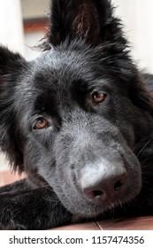 Portrait of black German shepherd puppy, selective focus