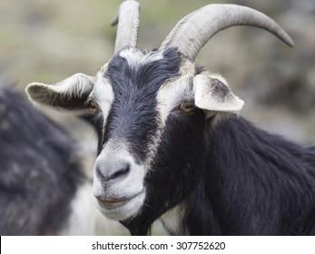 Portrait of a black goat.