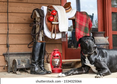 Portrait of a Black Great Dane resting on a farmhouse porch beside a saddle rack with English tack including saddle, bridle, riding boots decorated for Christmas- bells, lantern and plaid blanket