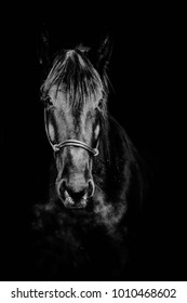 portrait of black horse on a black background