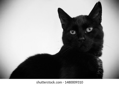 Portrait of a black housecat/domestic cat on white background. Head and half body. Head turned to the camera. Black and white picture with vignette frame.