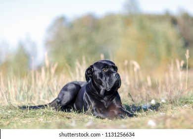 Portrait black Italian cane Corso lies on the green lawn. Strength, power, muscle, dog
