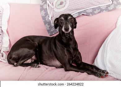 Portrait of black Italian greyhound