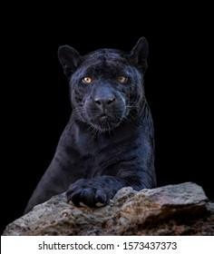 Portrait of black jaguar in black background