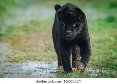 Puma Noir : images, photos et images vectorielles de stock ...