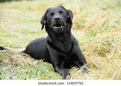 Portrait of a black labrador in field sneezing