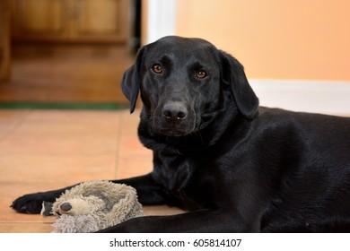 portrait of a black labrador with a grey toy